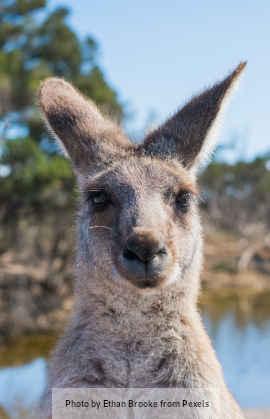 A kangaroo looking straight ahead.